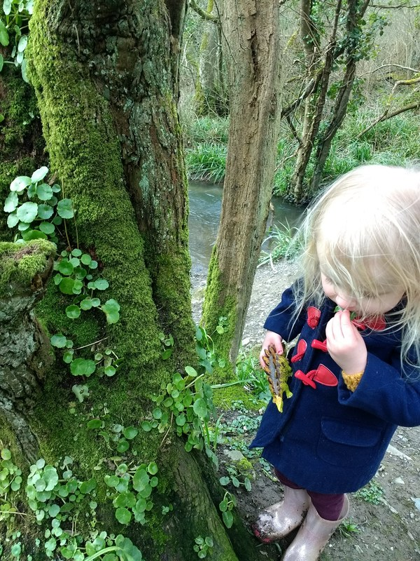 child foraging pennywort in woods